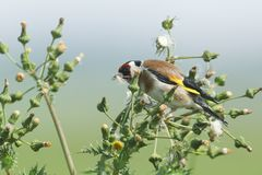 A beautiful Goldfinch Carduelis carduelis feeding on the seeds of a wild plant. royalty free stock image