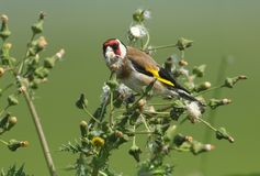 A beautiful Goldfinch Carduelis carduelis feeding on the seeds of a wild plant. royalty free stock images