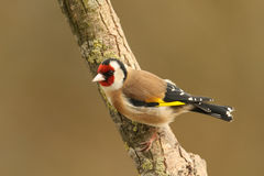A stunning Goldfinch Carduelis carduelis perched on a branch. stock photos