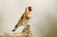 A stunning Goldfinch Carduelis carduelis perched on a branch. stock image