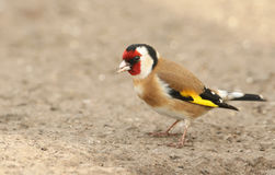 A stunning Goldfinch Carduelis carduelis, perched on the ground looking around for food. stock photography
