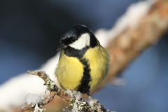 A stunning Great Tit, Parus major perched on a branch covered in lichen and a covering of snow. Stock Images