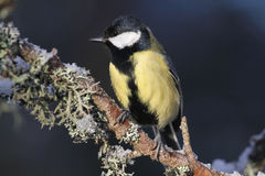 A stunning Great Tit, Parus major perched on a branch covered in lichen and a covering of snow. Stock Image