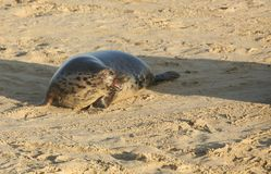 A grey seal Halichoerus grypus on the beach with its mouth open at Horsey, Norfolk, UK. Royalty Free Stock Photography