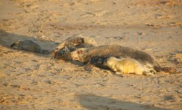 Grey Seal Halichoerus grypus mums and newly born pups lying on a beach at Horsey, Norfolk, UK. Royalty Free Stock Photography