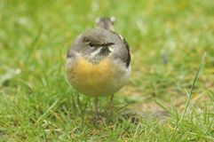 A stunning Grey Wagtail Motacilla cinerea searching for insects to eat in the grass. Stock Photos