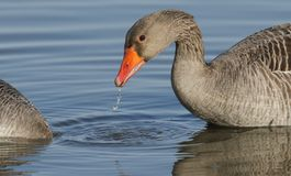 A stunning Greylag Goose Anser anser swimming and feeding on a lake. A water droplet is dropping from its beak. A Greylag Goose Anser anser swimming and feeding Stock Photos
