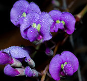 Stunning Hardenbergia comptoniana Vine With Water Droplets Royalty Free Stock Photo
