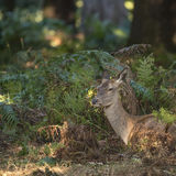 Stunning hind doe red deer cervus elaphus in dappled sunlight fo Stock Image