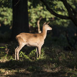 Stunning hind doe red deer cervus elaphus in dappled sunlight fo Stock Photography