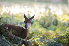 Stunning hind doe red deer cervus elaphus in dappled sunlight fo Royalty Free Stock Photography