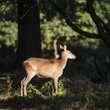 Stunning hind doe red deer cervus elaphus in dappled sunlight fo Royalty Free Stock Photo