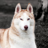 Stunning Husky dog Royalty Free Stock Photo