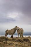 Stunning Iceland krajobrazu fotografia Dwa dzikiego konia na kraj stronie Iceland z markotnymi chmurami w tle Obraz Stock