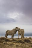 Stunning Iceland landscape photography. Two wild horses on the country side of Iceland with moody clouds in the background Stock Image