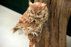 Stunning image of beautiful owl and mouse set on tree branch Royalty Free Stock Image