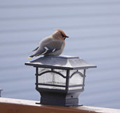 Stunning image of bohemian waxwing on post Royalty Free Stock Photos