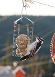 Stunning image of hairy woodpecker on suet feeder Royalty Free Stock Photography
