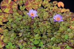 Stunning image of lily pads and lilies in water garden Royalty Free Stock Photo