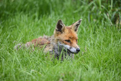 Stunning image of red fox vulpes vulpes in lush Summer countrysi Stock Photos
