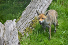 Stunning image of red fox vulpes vulpes in lush Summer countrysi Royalty Free Stock Photo