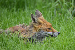 Stunning image of red fox vulpes vulpes in lush Summer countrysi Stock Images