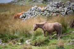 Stunning image of wild pony in Snowdonia landscape in Autumn. Beautiful image of wild pony in Snowdonia landscape in Autumn royalty free stock images