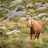 Stunning image of wild pony in Snowdonia landscape in Autumn. Beautiful image of wild pony in Snowdonia landscape in Autumn stock image