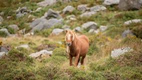 Stunning image of wild pony in Snowdonia landscape in Autumn. Beautiful image of wild pony in Snowdonia landscape in Autumn stock photos