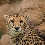 Beautiful close up portrait of Cheetah Acinonyx Jubatus in color. Stunning intimate portrait of Cheetah Acinonyx Jubatus in colorful landscape Royalty Free Stock Image