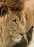 Beautiful intimate portrait image of King of the Jungle Barbary Stock Photography