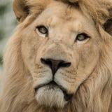 Beautiful close up portrait of white Barbary Atlas Lion Panthera Royalty Free Stock Image