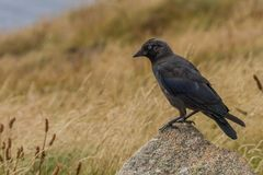 Jackdaw standing on a rock. A stunning Jackdaw Corvid on the cliffs on Lands end, the piercing blue eyes on these birds never cease to amaze me royalty free stock images