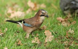 A stunning Jay Garrulus glandarius searching in the grass for Acorns that it can store for the winter. A Jay Garrulus glandarius searching in the grass for Stock Photos