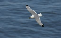 A stunning Kittiwake Rissa tridactyla flying above the sea in the UK. A pretty Kittiwake Rissa tridactyla flying above the sea in the UK royalty free stock images