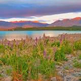 Spring wild flowers on the shores of Lake Tekapo, New Zealand royalty free stock photography