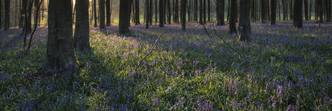 Stunning landscape of bluebell forest in Spring in English count Royalty Free Stock Image