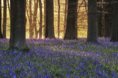 Stunning landscape of bluebell forest in Spring in English count Stock Photos