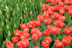 Stunning landscape of colorful variety in Springtime Tulips stock photography