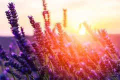 Stunning landscape with lavender field at sunset Stock Photography