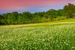 Stunning landscape and spring meadow with white daffodils flowers Stock Photo