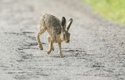 A stunning large Brown Hare Lepus europaeus running across a dirt track. stock images