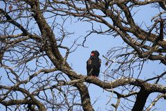 Bateleur Eagle taking off in Africa royalty free stock photo