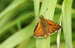 A beautiful Large Skipper Butterfly Ochlodes sylvanus perching on a blade of grass. stock image