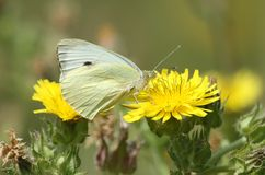 A pretty Large White Butterfly Pieris brassicae nectaring on a yellow flower. A stunning Large White Butterfly Pieris brassicae nectaring on a yellow flower stock photography