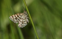 A stunning Latticed Heath Moth Chiasmia clathrata perching on the stem of a plant. Stock Photos