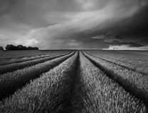 Stunning lavender field landscape Summer sunset in black and whi Stock Photos