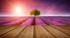 Stunning lavender field landscape Summer sunset with single tree. Beautiful image of lavender field Summer sunset landscape with single tree on horizon with Royalty Free Stock Images