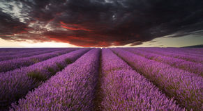 Stunning lavender field landscape Summer sunset under moody red Royalty Free Stock Photos