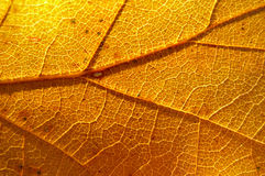 Stunning leaf texture. Closeup of yellow autumn leaf with amazing texture Stock Image